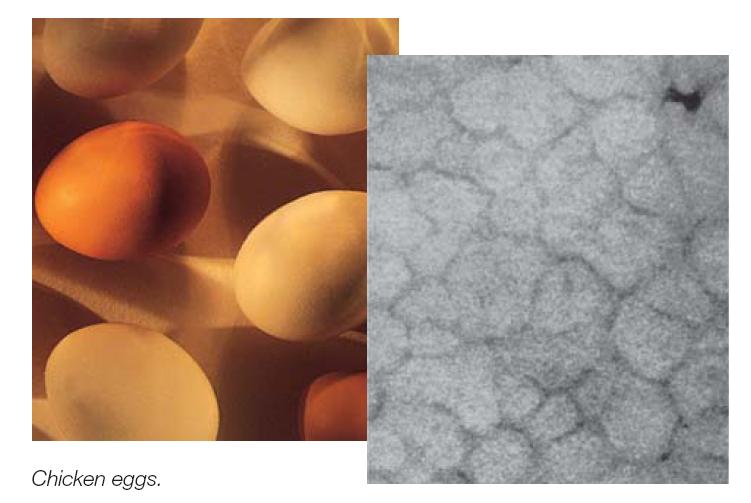 Kalsit sütunlarını gösteren bir yumurta kabuğunun röntgen görüntüsü